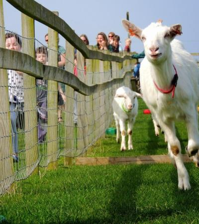 Goats racing at Roves Farm Visitor Centre in Swindon