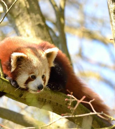 Red Panda at Port Lympne Wild Animal Park in Hythe