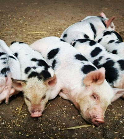 Piglets at Ferry Farm Country Park in Nottingham