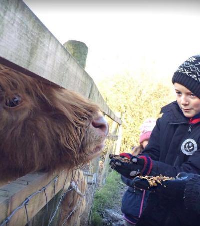 Boy feeding cow at Aston Springs Farm in Sheffield