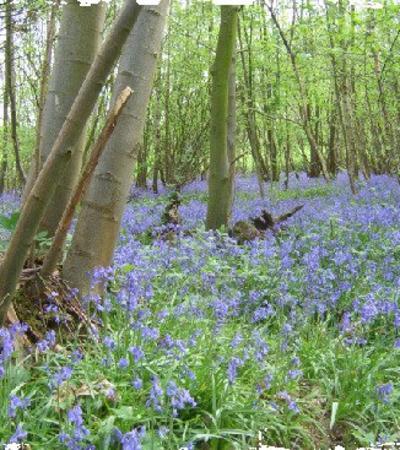Bluebells at Druidstone Park in Canterbury