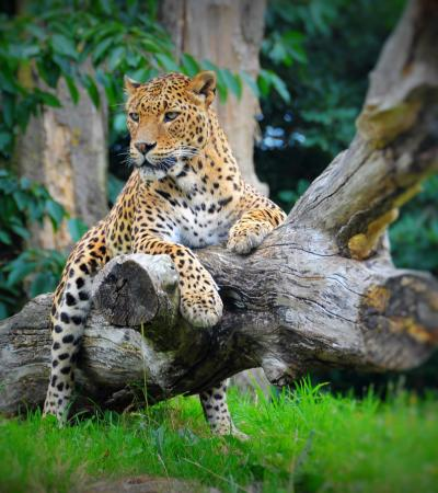 Jaguar at Banham Zoo