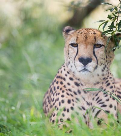 Cheetah at Hamerton Zoo Park