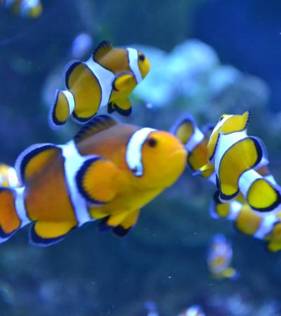 Clownfish at Sealife Adventure in Southend on Sea
