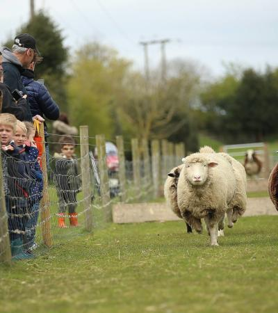 Sheep racing at White Post Farm Centre in Farnsfield