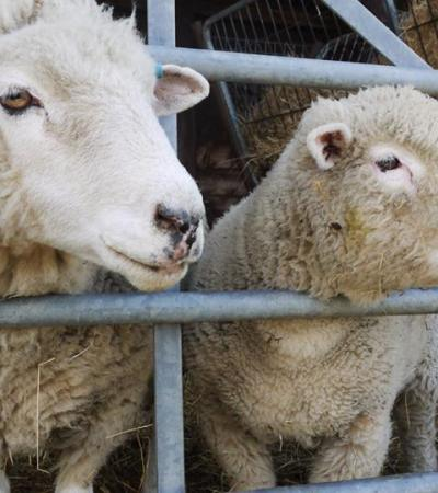 Sheep at Hartcliffe Farm in Bristol
