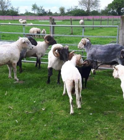 Sheep at Melsop Farm Park in Scoulton