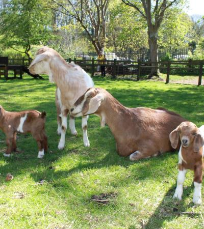 Anglo Nubian Goat family at St Werburghs City Farm in Bristol