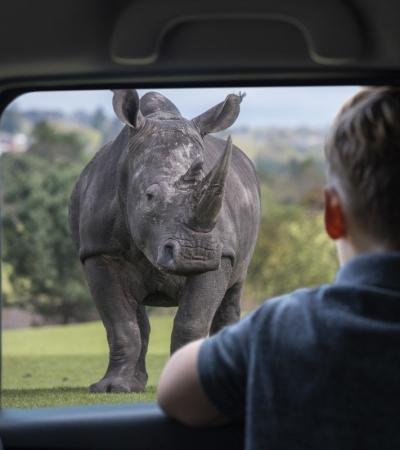 Someone sat in their car looking at a rhino at West Midland Safari Park in Bewdley