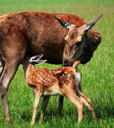 Deer at Farmer Palmers in Poole