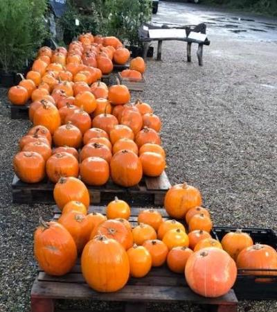 Pumpkins at Hillfield Nursery & Farm Shop in Norwich