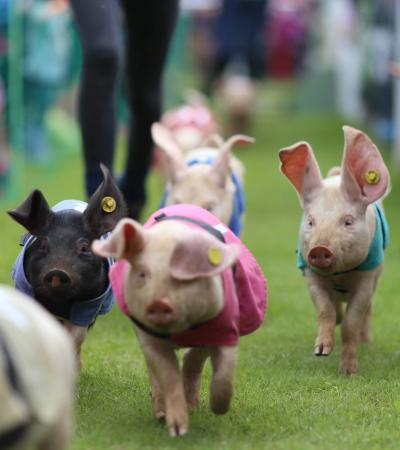 Piglets racing at Church Farm Stow Bardolph in Downham Market