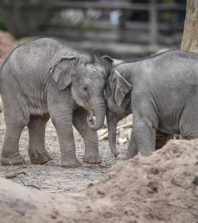 Baby elephants at Chester Zoo