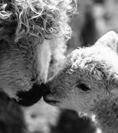 A sheep & lamb at White Elm Petting Farm, Bicknacre
