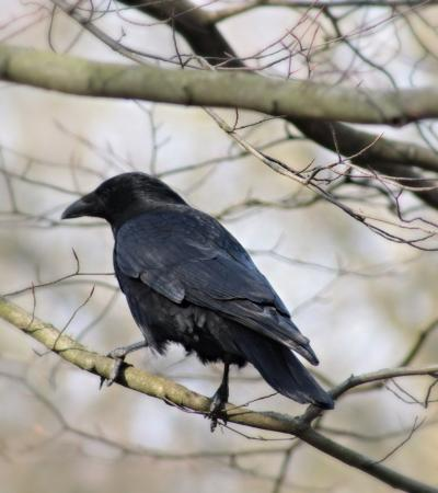 Black carrion crow at High Woods Country Park in Colchester