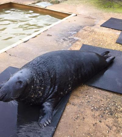 Seal at The Mablethorpe Seal Sanctuary