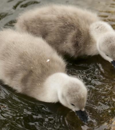 Grey cygnets at Stanton Park in Swindon