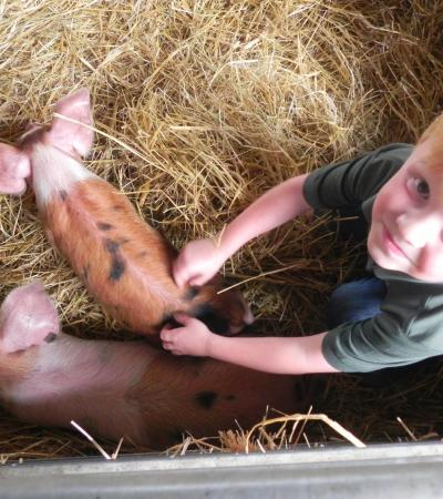 Boy with piglets at Boydells Dairy Farm in Braintree