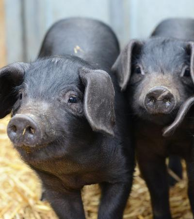 Piglets at Gressenhall Farm and Workhouse in Dareham