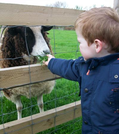 Boy feeding sheep at Hollow Trees in Ipswich
