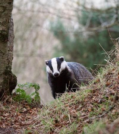 Badger at Badger Watch Dorset