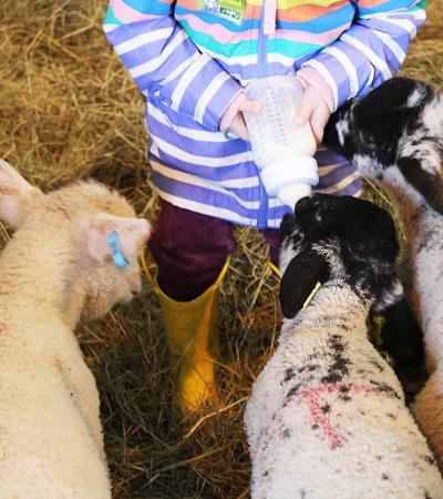 Girl bottle feeds lambs at Foxholes Farm in Hertford
