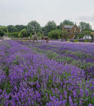 Lavender field at Norfolk Lavender in King Lynn