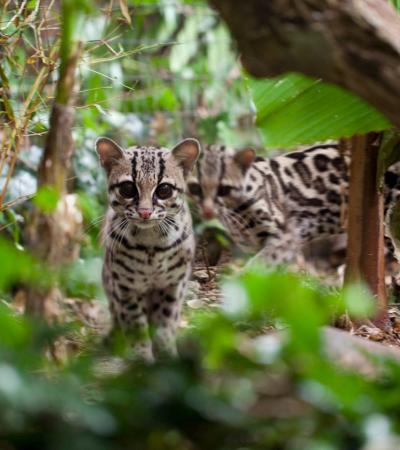 Margays at Sheldon Zoo in Teignmouth