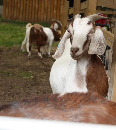 Goats at Windmill Hill City Farm in Bristol