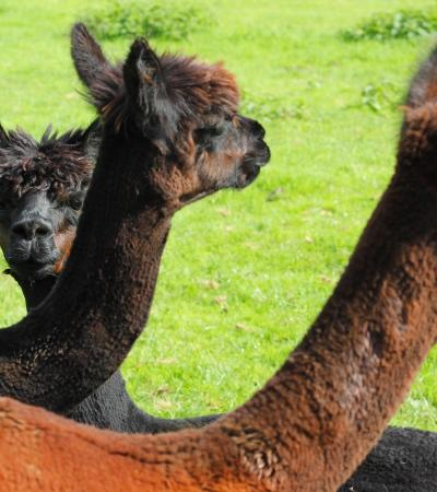 Alpacas at Rutland Farm Park in Oakham