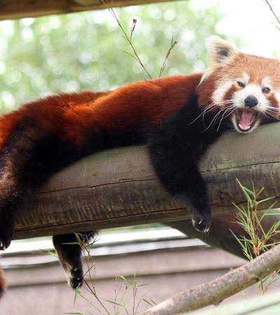 Red panda at Colchester Zoo