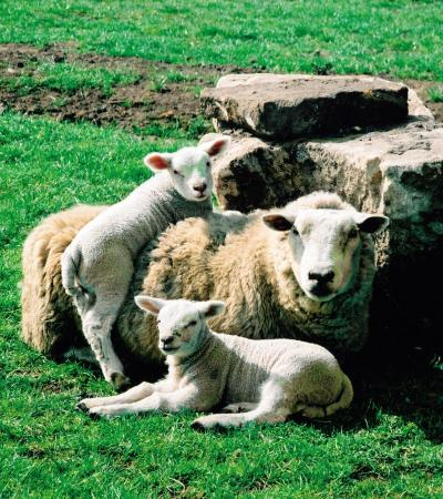 Mother sheep and her babies at Matlock Farm Park