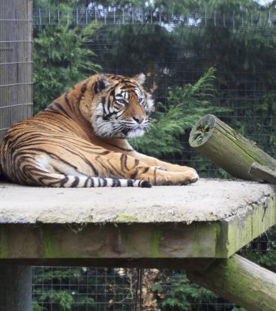 Tiger at Thrigby Hall Wildlife Gardens in Great Yarmouth