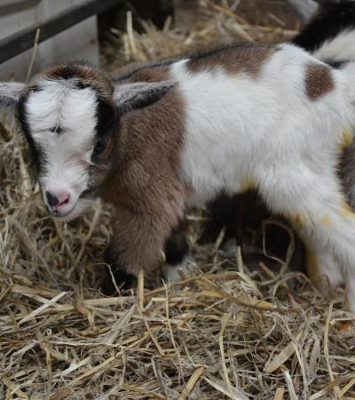 Goat at Farmtastic Animal Farm in Chippenham
