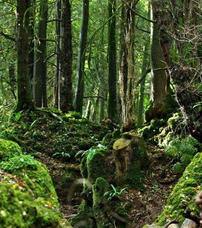 Woods at Puzzlewood in Coleford