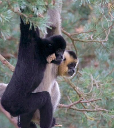 Monkeys on trees at Monkey World in Wareham