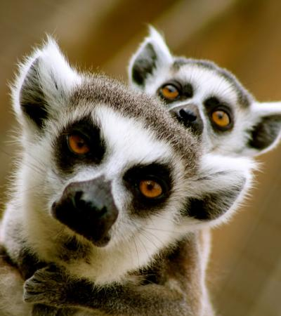 Lemurs at Lincolnshire Wildlife Park in Boston