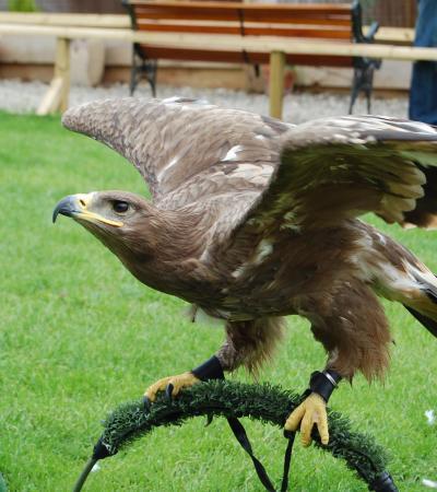 Falcon at Battlefield Falconry Centre in Shrewsbury