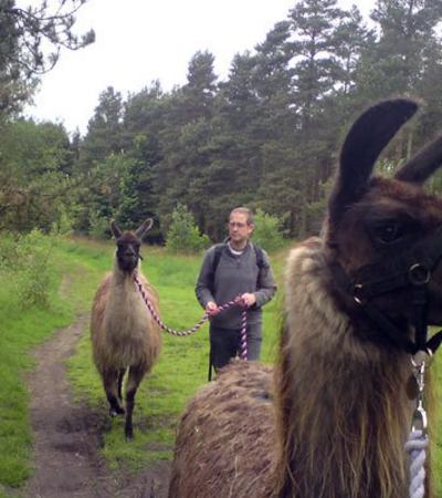 Man walking with llamas at Peak Llamas in Great Hucklow