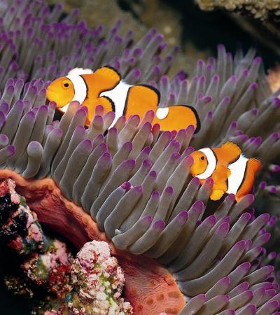 Clownfish at Blue Reef Aquarium Hastings