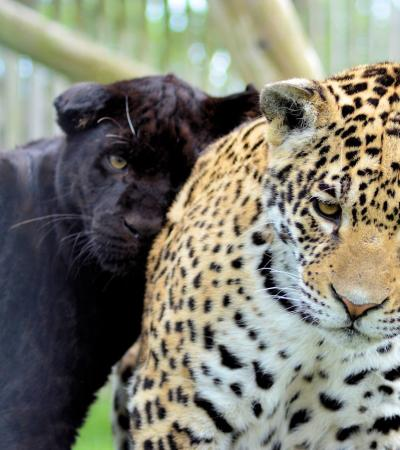 Jaguars at Wingham Wildlife Park in Canterbury