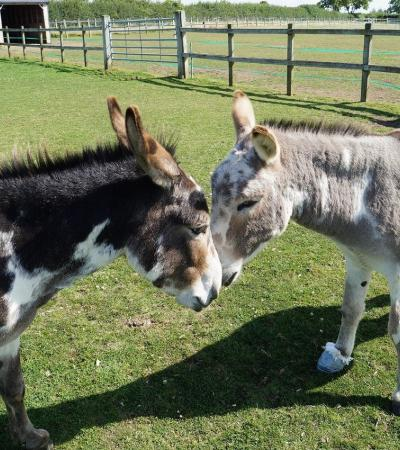 Donkeys at Redwings Horse Sanctuary in Oxhill