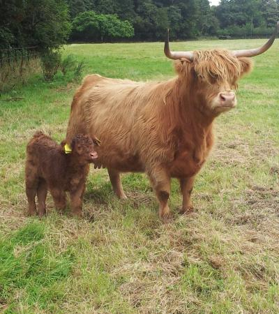Highland Cows at Croxteth Hall and Country Park in Liverpool