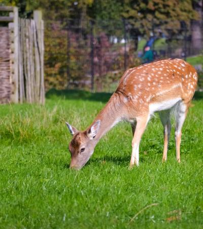 Deer at Clissold Park in Hackney