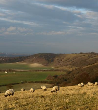 Sheep at Dunstable Downs & Gateway Centre in Whipsnade