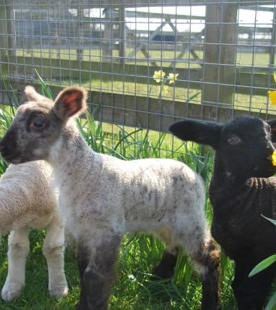 Lambs at Barleys lands Farm Park in Billericay