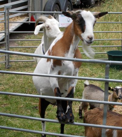 Goats at Brickfields Country Park in Aldershot