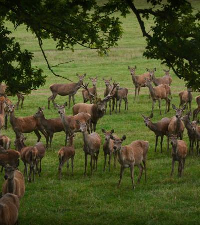 Deer at Bucklebury Farm Park in Reading