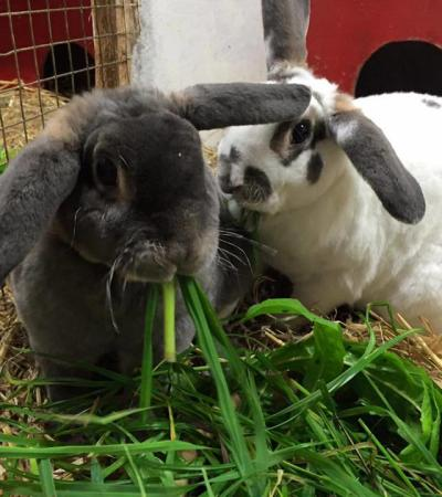Lop-eared rabbits at Broomey Croft Childrens Farm in Sutton Coldfield
