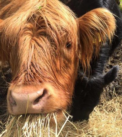 Highland cows at The Lodge Forest Visitor Centre in Aberfoyle